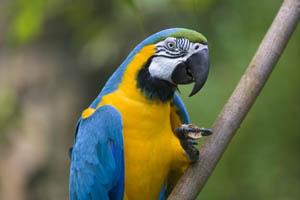 Escaped parrot has seven ASBOs for bad behaviour