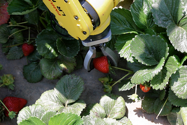 Robot fruit picker caught stealing strawberries