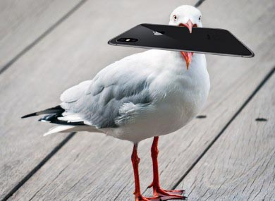 Seagull steals iPhone X then orders pasties online