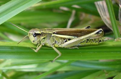 Single locust strips apple tree bare in six minutes
