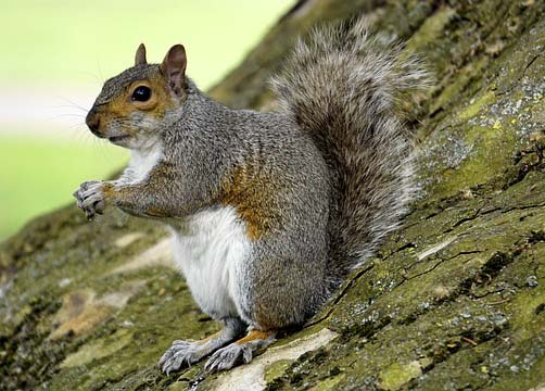 Grey squirrel given ASBO for pelting walkers with acorns