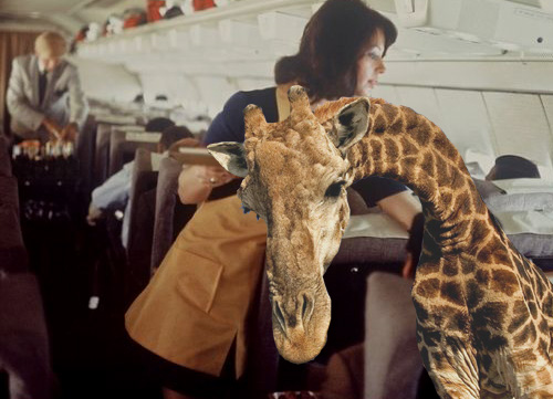 Airline to allow giraffes on board as 'emotional support animals'